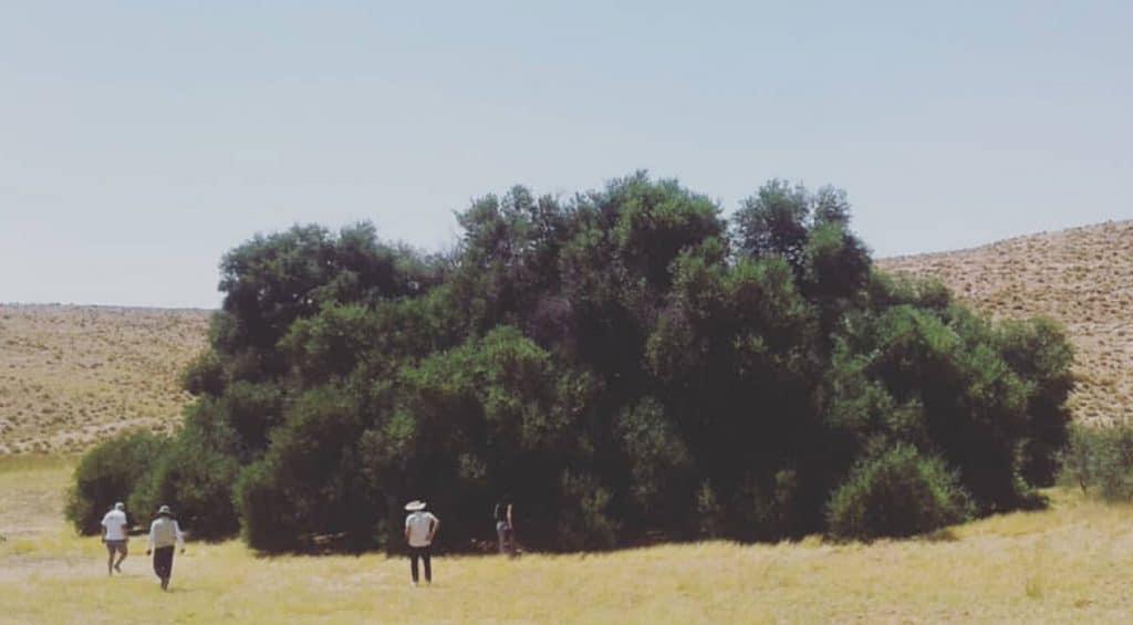 Al Akarit, l'olivier le plus ancien au monde